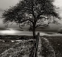 Lonely Tree, lonely sheep by PHendersonPhoto