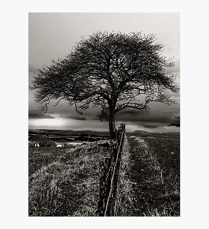 Lonely Tree, lonely sheep Photographic Print