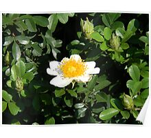 "The ""Egg"" Plant  Bush at McDonald's (Cherokee Rose?) Poster"