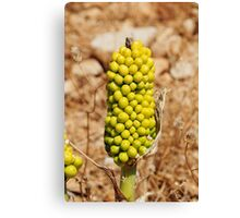Dragon Lily seed head, Halki Canvas Print