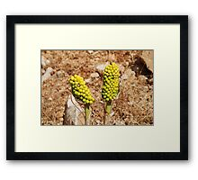 Dragon Lily seed heads, Greece Framed Print
