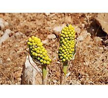 Dragon Lily seed heads, Greece Photographic Print