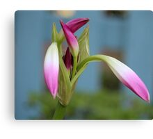 Pink Lily Bud Canvas Print
