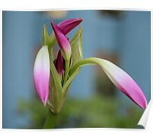 Pink Lily Bud Poster