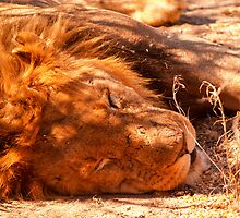 Lion sleeping, close-up. by brians101