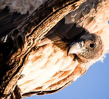Vulture peers down from the seclusion of a high tree. by brians101