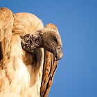 Vulture. by brians101