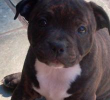 Staffy Staffordshire Puppy 2 Sticker