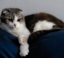 Billie. Scottish Fold Cat. 14 years old. by ronsphotos