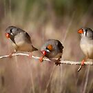 Zebra Finches by Blue Gum Pictures