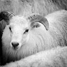 Icelandic Sheep by Natalie Broome