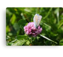 Common Blue feeding on pollen Canvas Print