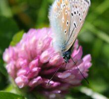 Common Blue feeding on pollen Sticker