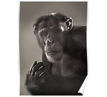 Chimp Portrait Poster