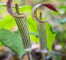 Jack in the Pulpit Flowers by Kenneth Keifer