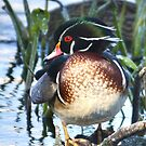 Wood Duck Portrait by Kathy Baccari