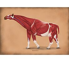 Paraceratherium anatomical study Photographic Print