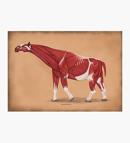 Paraceratherium anatomical study Photographic Print