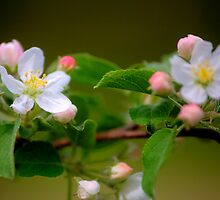 Apple Blossoms by Roger Passman