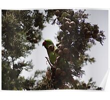 Parrot on a Cypress Tree Poster