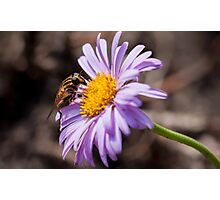 hoverfly on a lovely purple aster Photographic Print