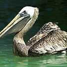 Pelican by Holly Werner