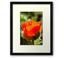 young poppy catching the sun Framed Print