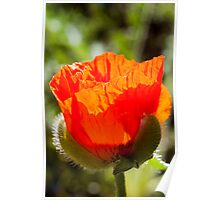 young poppy catching the sun Poster