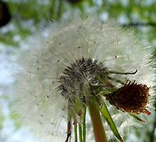 Dandelion Puff by Sharon Murphy