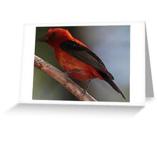 Scarlet Tanager 1 Greeting Card