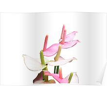 Pink and White Lilies Top View Poster