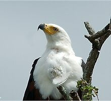 UP CLOSE - AFRICAN FISH EAGLE - Haliaeetus vocifer -Visarend by Magriet Meintjes