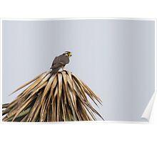 Aplomado Falcon (Falco femoralis) Poster