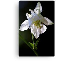 White Columbine - In the Shadows Canvas Print