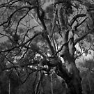 Scary Tree- Stringybark Track (2) by Ben Loveday