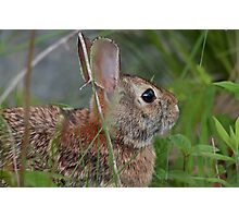 Eastern cottontail Photographic Print