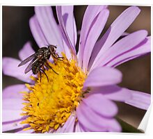 Fly resting on a purple aster Poster