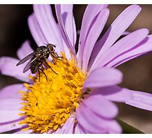 Fly resting on a purple aster Photographic Print