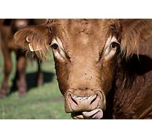 Whiskey the Bull Photographic Print
