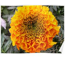 African Marigold Poster