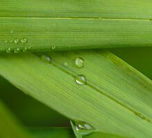 Water droplets on a leaf by Josef Pittner