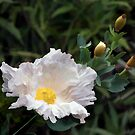 White Poppy by CarolM