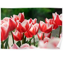 Row of Tulips Poster