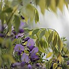 Wistful Wisteria by reindeer