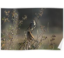 Two Finches Poster