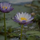 Lily Pond  by Margaret Stanton