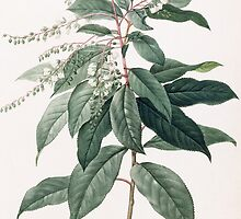 Clethra Arborea (Lily of the Valley Tree) by Bridgeman Art Library