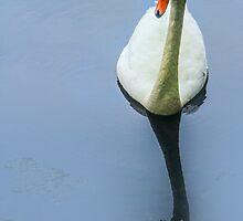 Swan by john forrant