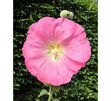 Bright Pink Hollyhock Photographic Print