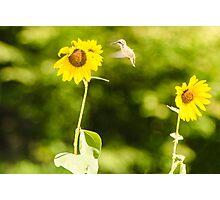 Humming Sunflower Photographic Print